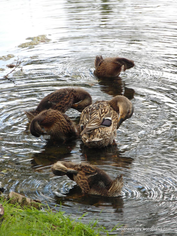 Kaczuszki na jeziorze Czos
