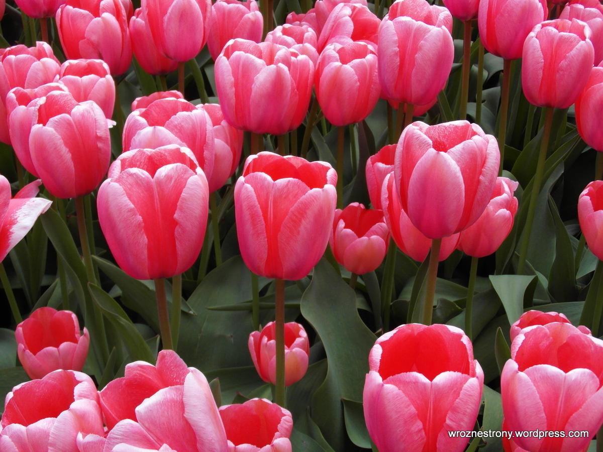 Różowe kwiaty też piękne