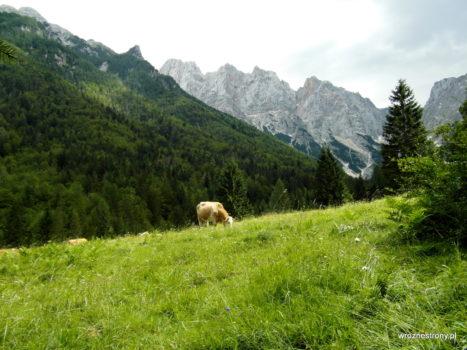 Krowa na alpejskiej łące