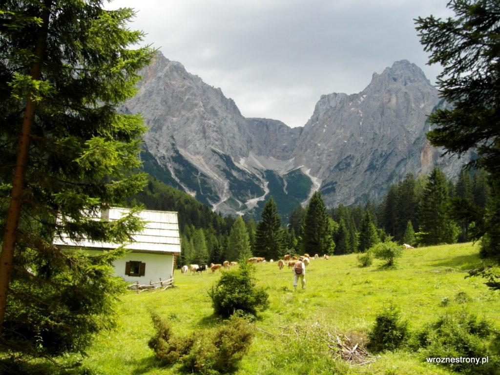 Alpejska łąka i pasące się krowy