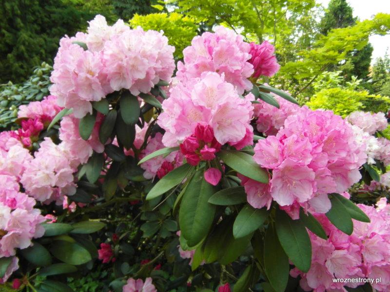 Kwitnące różaneczniki