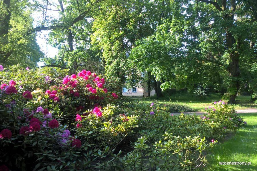 Kwitnące różaneczniki w Lubostroniu