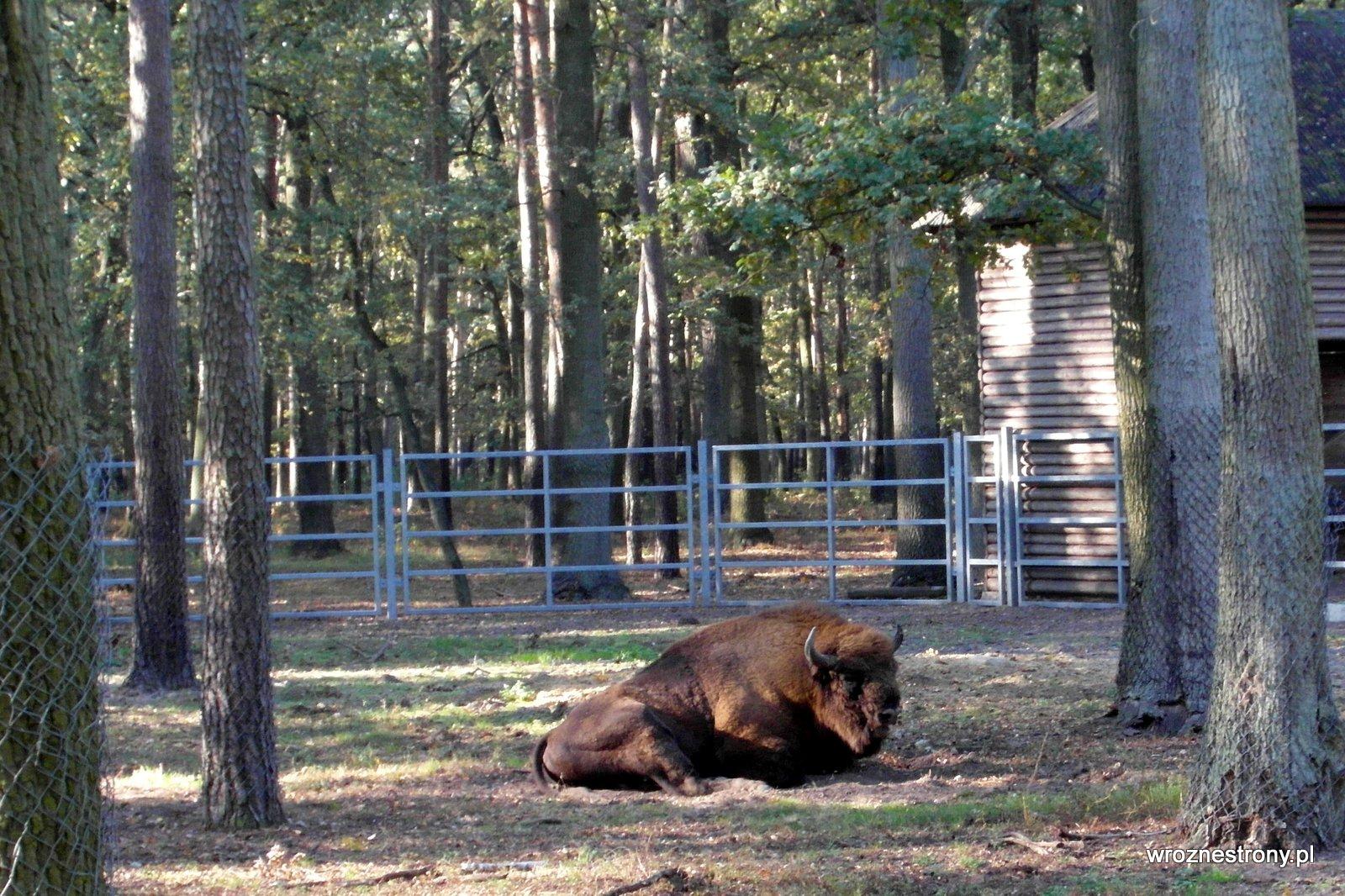 Żubr w zagrodzie w parku w Gołuchowie