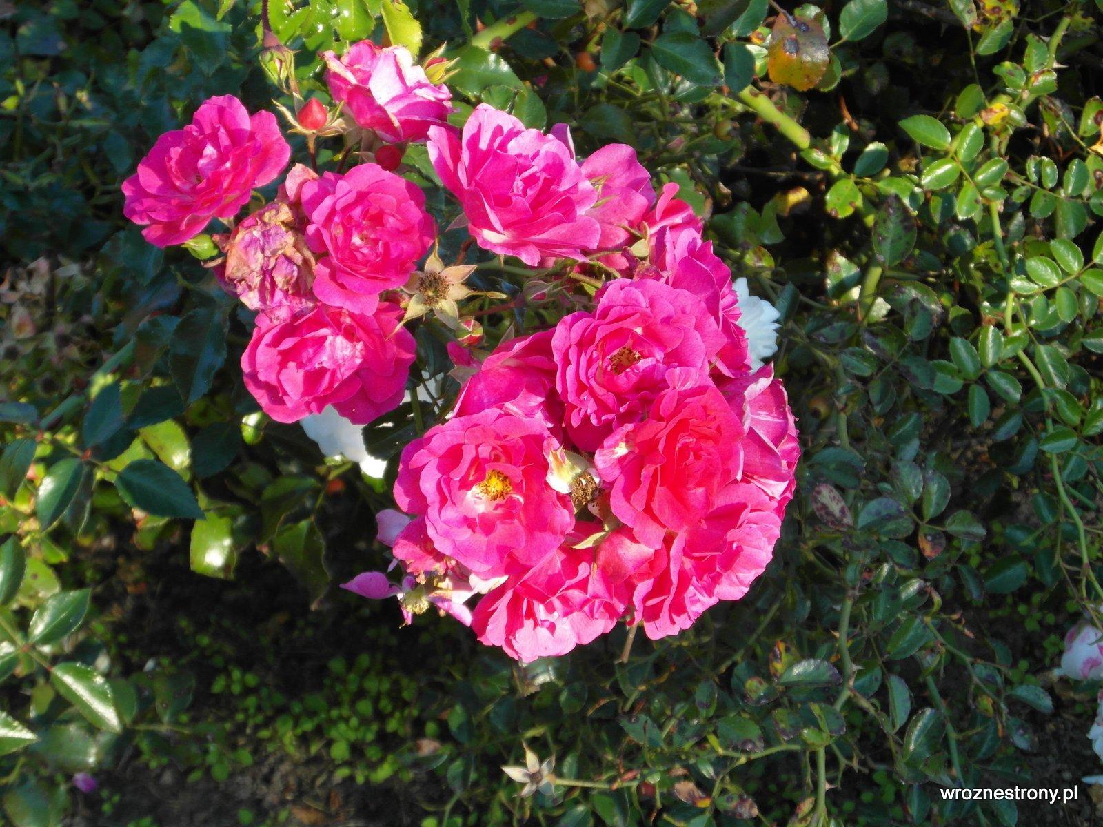 Październikowe róże