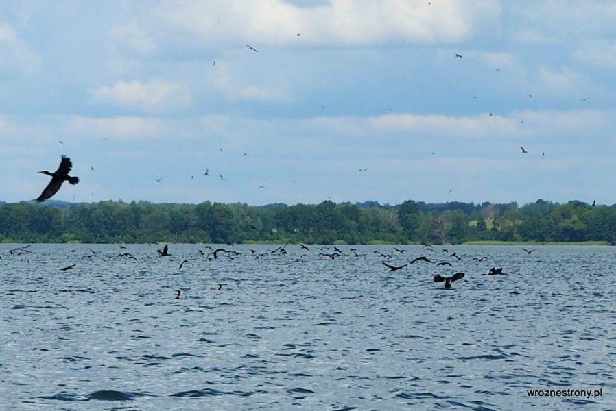Kormorany na jeziorze Drawsko