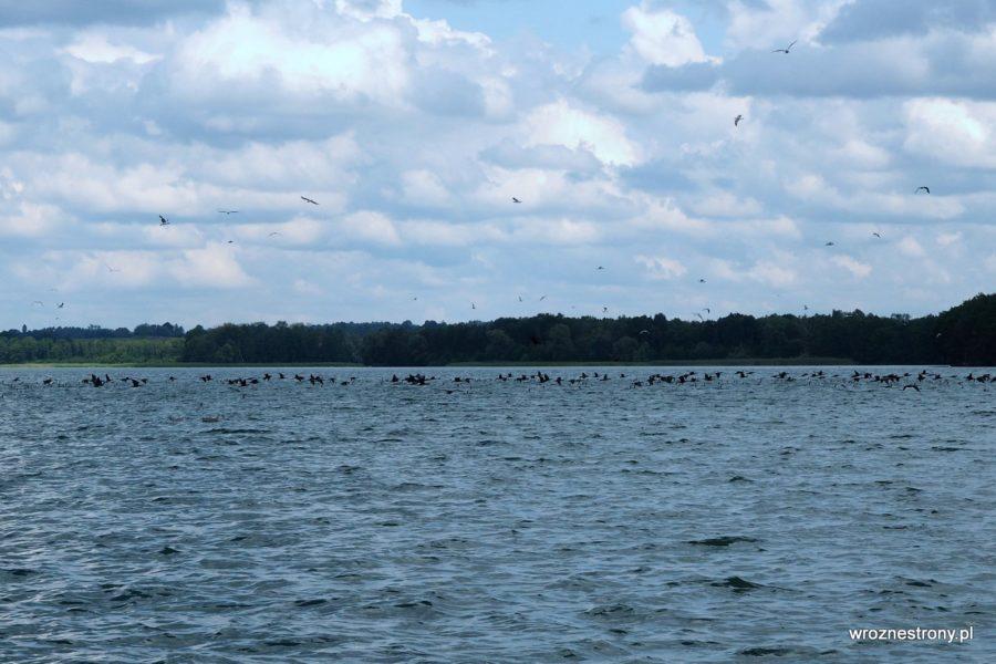 Kormorany na jeziorze Drawsko, Pojezierze Drawskie
