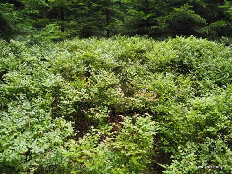 Jagody gęsto porastają Borówkową