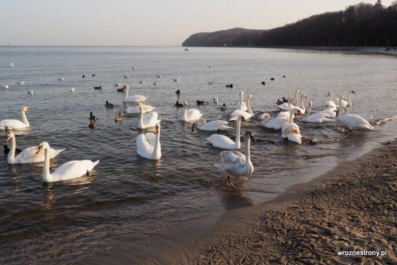 łabędzie Gdynia poza sezonem